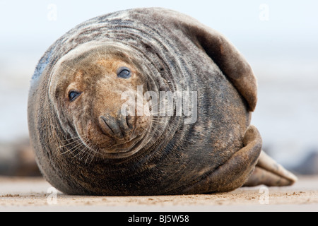 Seal on the Beach at Donna Nook in the United Kingdom - Stock Photo