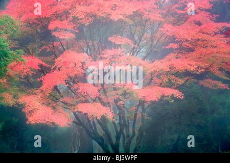 Fall maple tree in fog. Portland Japanese Gardens. Oregon - Stock Photo