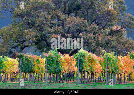 Vineyard and oak tree in fall color. Near Applegate, Oregon - Stock Photo