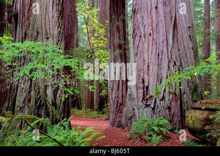 Redwoods with path and big leaf maple tree in fall color. Jedediah Smith Redwoods State Park, California - Stock Photo
