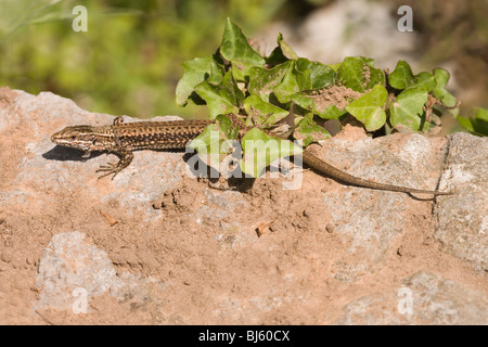 Wall Lizard (Podarcis muralis). Adult male. Shedding of skin (ecdysis) or 'sloughing' beginning from head and shoulders. - Stock Photo