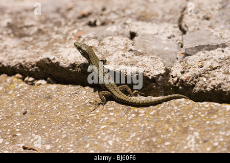 Wall Lizard (Podarcis muralis). Male emerging from overnight refuge in a wall to warm up in morning sun. Spain. - Stock Photo