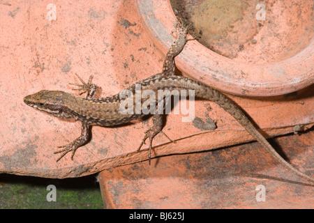 Wall Lizard (Podarcis muralis). Male. Spain. - Stock Photo