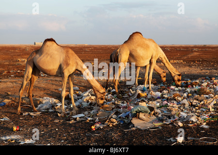 Camels eating from the trash in Somalia. - Stock Photo