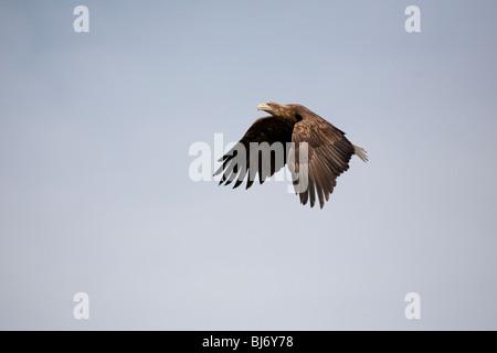 White tailed eagle Haliaeetus albicilla gaining altitude in flight taken under controlled conditions - Stock Photo
