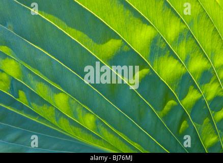 Sevenoaks, Kent, England. Sunlight and shade on hosta leaf. - Stock Photo