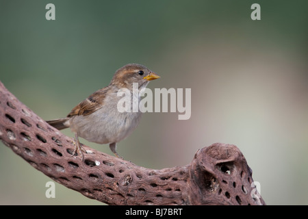 House Sparrow (Passer domesticus domesticus), immature female. - Stock Photo