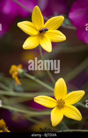 Honey bee collects pollen from a yellow flower - Stock Photo