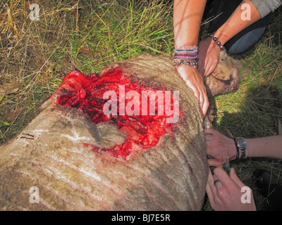 A vet and her assistant put down a sheep savagely mauled by a dog - Stock Photo