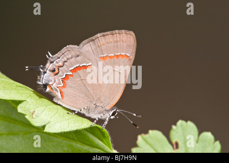 Red-banded Hairstreak - Stock Photo