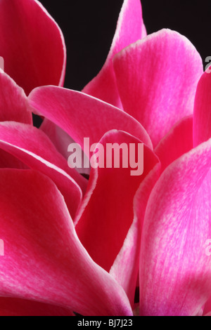 Cyclamen petals against a black background - Stock Photo