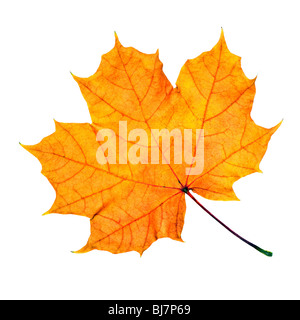 Maple fall leaf isolated on white background - Stock Photo