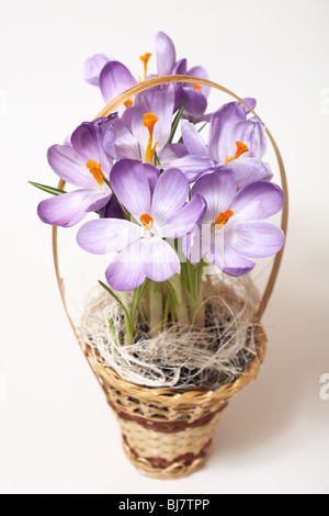 Closeup of crocuses on white background with light shadow - Stock Photo