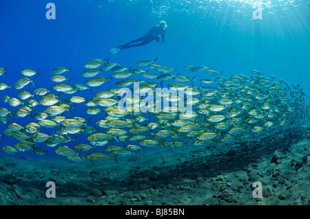 Selar boops, scuba diver with school of Oxeye scads, Drop Off, Tulamben, Bali, Indonesia, Indo-Pacific Ocean - Stock Photo