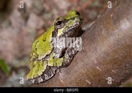 Cope's grey tree frog, Hyla chrysoscelis, native the to United States - Stock Photo