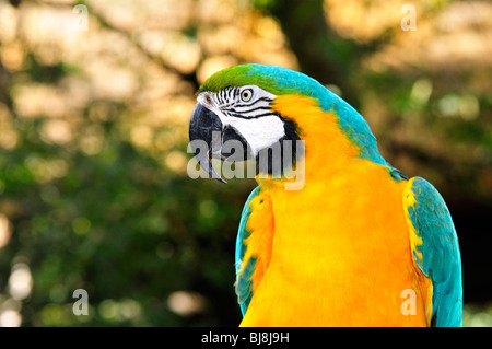 Blue and gold macaw (blue and yellow macaw, Ara ararauna) at the St. Augustine Alligator Farm - Stock Photo