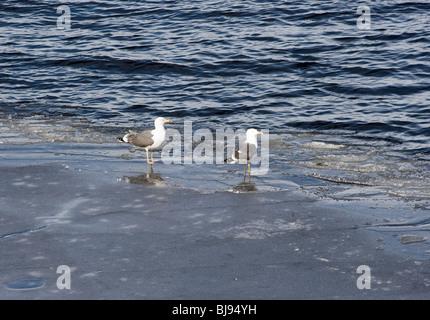 A Pair of Herring Gulls Standing on Ice at Loch Lomond Balloch Dumbartonshire Scotland United Kingdom UK - Stock Photo