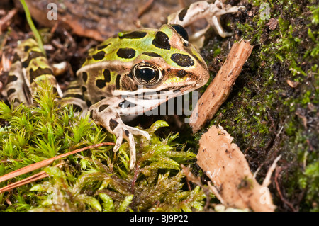 The northern leopard frog, Rana pipiens, is native to parts of Canada and the United States. - Stock Photo