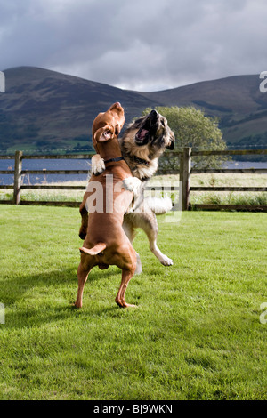 Two dogs, Hungarian Vizsla and German Shepherd dog, wrestling in garden, taken by  Loch Tay - Stock Photo