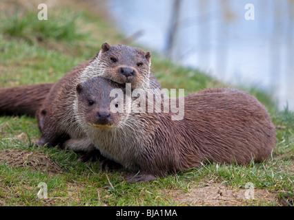 Eurasian Otters (lutra lutra) cuddling - Stock Photo