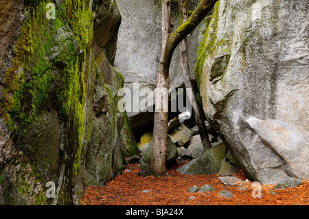 Two trees between a rock and a hard place in Yosemite National Park California USA - Stock Photo