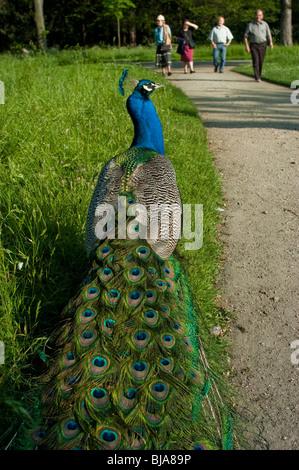 Paris, France, Peacock Bird, Public Parks, in Autumn, People Promenading, - Stock Photo