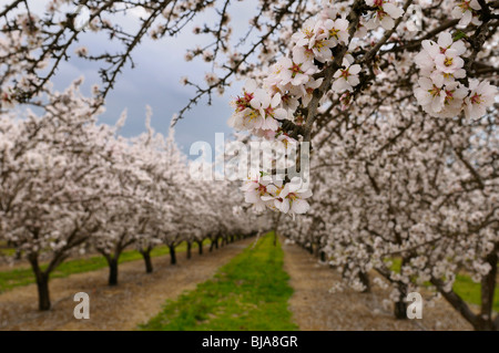 Close up of blossoms on a flowering almond tree in a California USA orchard with rows of trees in winter - Stock Photo