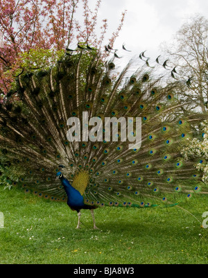 Peacock Bird Showing Feathers, Tail ,Outside in park, 'Jardin de Bagatelle', Paris, France - Stock Photo