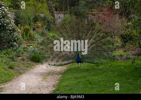 Peacock BIrd, Outside in Park, Showing Feathers, 'Jardin de Bagatelle', Paris, France - Stock Photo
