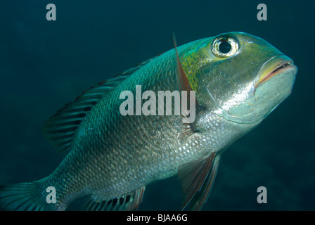 Humpnose big-eye bream in the Red Sea. - Stock Photo