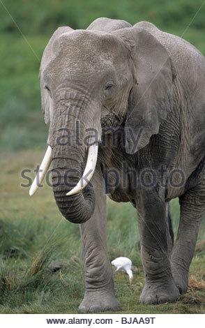 African Elephant, Amboseli National Park, Kenya - Stock Photo