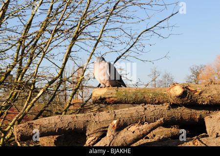 Wood pigeon Columba palumbus sitting on a wood pile - Stock Photo