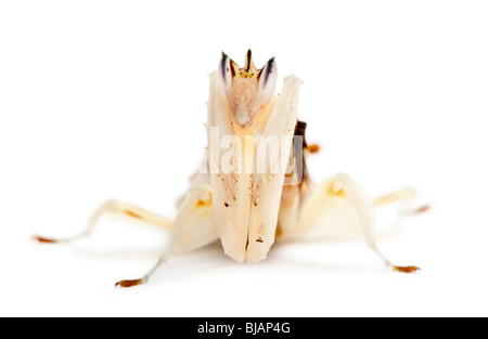 Male and female hymenopus coronatus also known as Malaysian orchid mantis, in front of white background - Stock Photo
