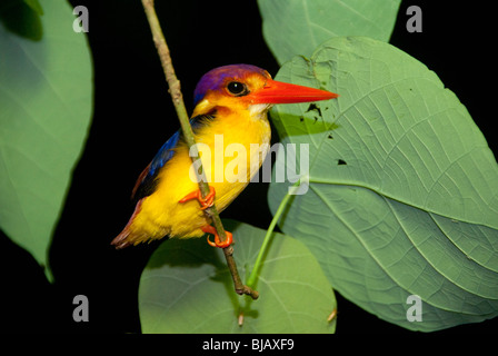 The Black-backed Kingfisher also known as the Oriental dwarf-kingfisher (Ceyx erithaca). Borneo, Malaysia. - Stock Photo