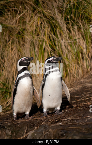 Magellanic Penguin Spheniscus magellanicus Magellanpinguin Jackass Sea Lion Island Falkland Islands - Stock Photo