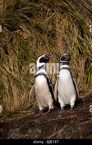 Magellanic Penguin Spheniscus magellanicus Magellanpinguin Jackass Sea Lion Island Falkland Islands - Stock Photo