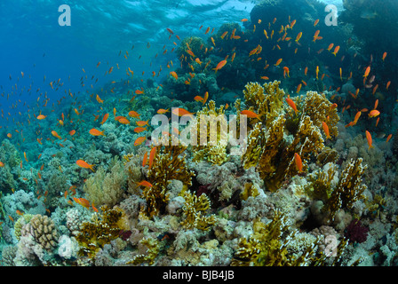 School of  threadfin anthias in the Red Sea, off Hurghada - Stock Photo