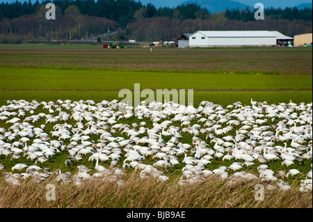 Snow Geese return to the Skagit Valley in huge numbers during the early spring to feed off leftover scraps from - Stock Photo