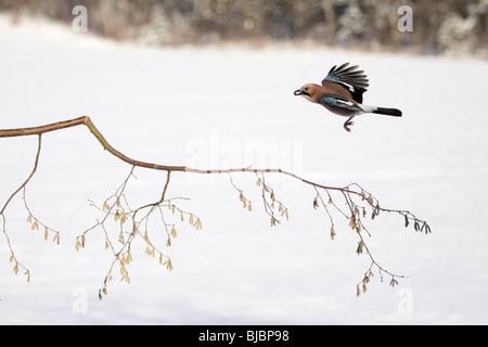 Jay (Garrulus glandarius), in flight, winter, Germany - Stock Photo