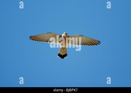 Lesser Kestrel (Falco naumanni), male in flight, Extremadura, Spain - Stock Photo
