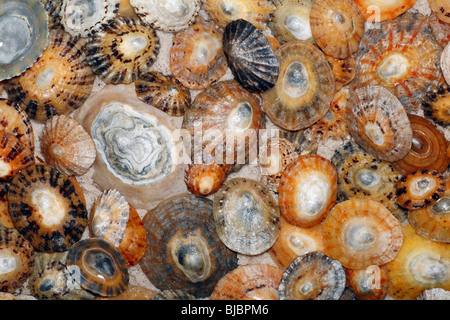 Common Limpet Shells (Patella vulgata), on coast at Bamburgh, Northumberland, England - Stock Photo