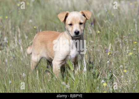 Mongrel Dog, puppy, Portugal - Stock Photo