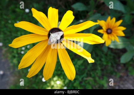 Moth, resting on Black-eyed Susan flower in garden, Germany - Stock Photo