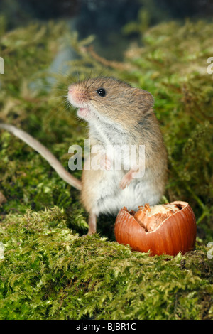 Harvest Mouse (Micromys minutus), with hazelnut - Stock Photo