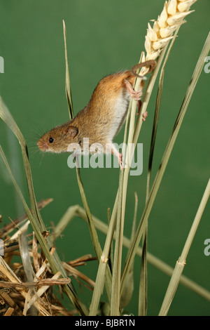 Harvest Mouse (Micromys minutus), climbing using prehensile tail, between wheat stalks - Stock Photo