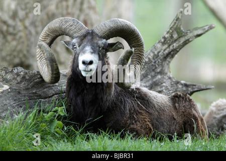 Mouflon sheep (Ovis musimon) - Ram resting at base of tree - Stock Photo