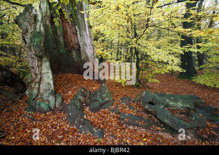 Ancient Oak Stem, surrounded by beech trees in autumn, Sababurg National Park, North Hessen, Germany - Stock Photo