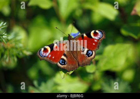 Peacock Butterfly (Inachis io) - resting on flower in garden - Stock Photo