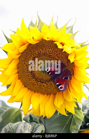 Peacock Butterfly (Inachis io) feeding on Sunflower (Helianthus annuus), Germany - Stock Photo
