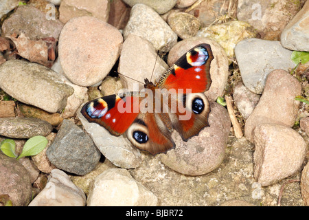 Peacock Butterfly (Inachis io), resting on pebbles in garden, Germany - Stock Photo